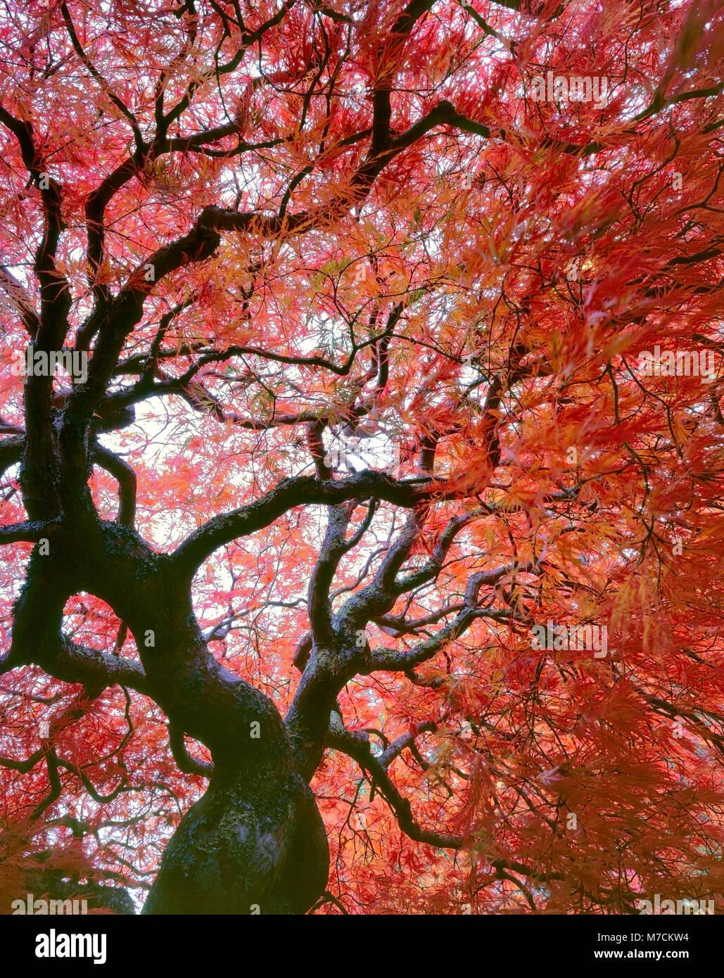 Japanischer Ahorn, Acer palmatum, Laceleaf, Farn Schlucht Garten, Mill Valley, Kalifornien Stockbild