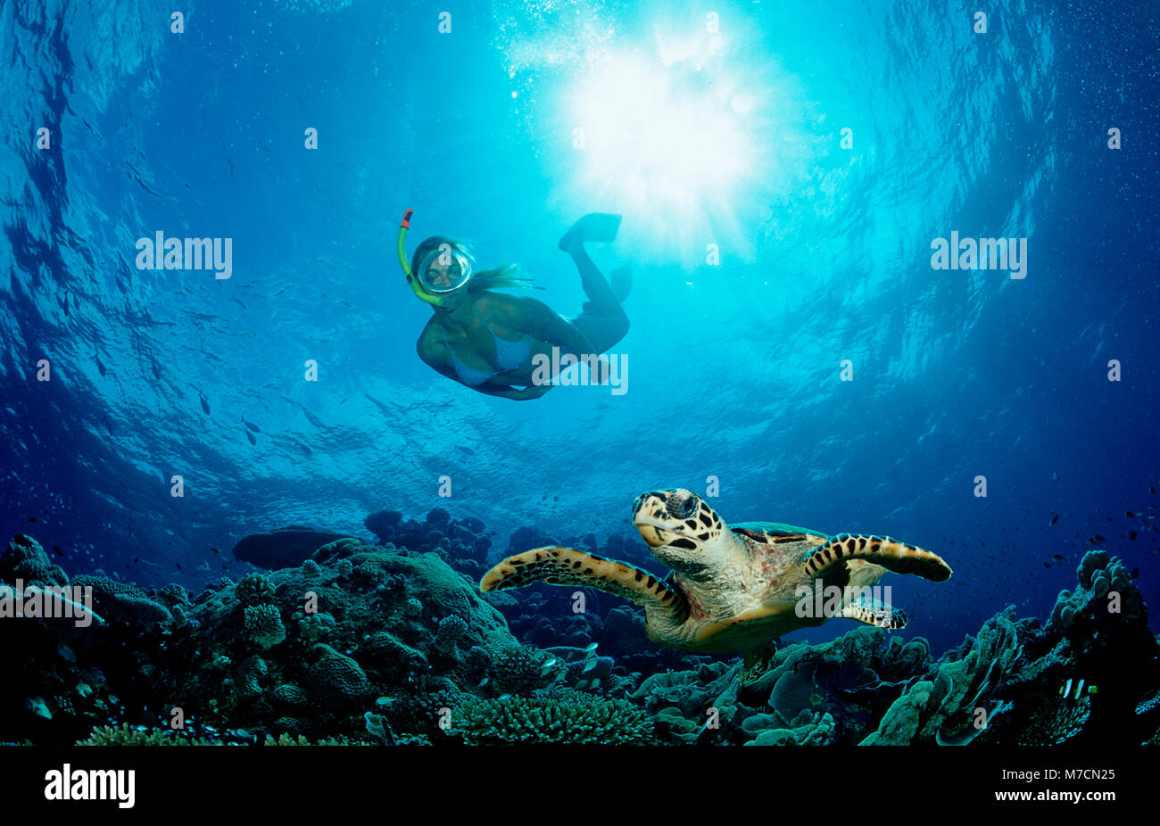 Hawksbill Schildkröte und Skin Diver, Eretmochelys imbricata, Malediven, Indischer Ozean, Meemu Atoll Stockbild