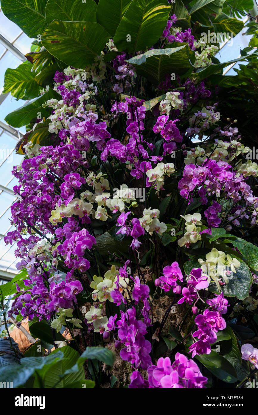 Großes Display von Phalaenopsis Orchideen im Orchid Festival in Kew Gardens 2018 Stockbild