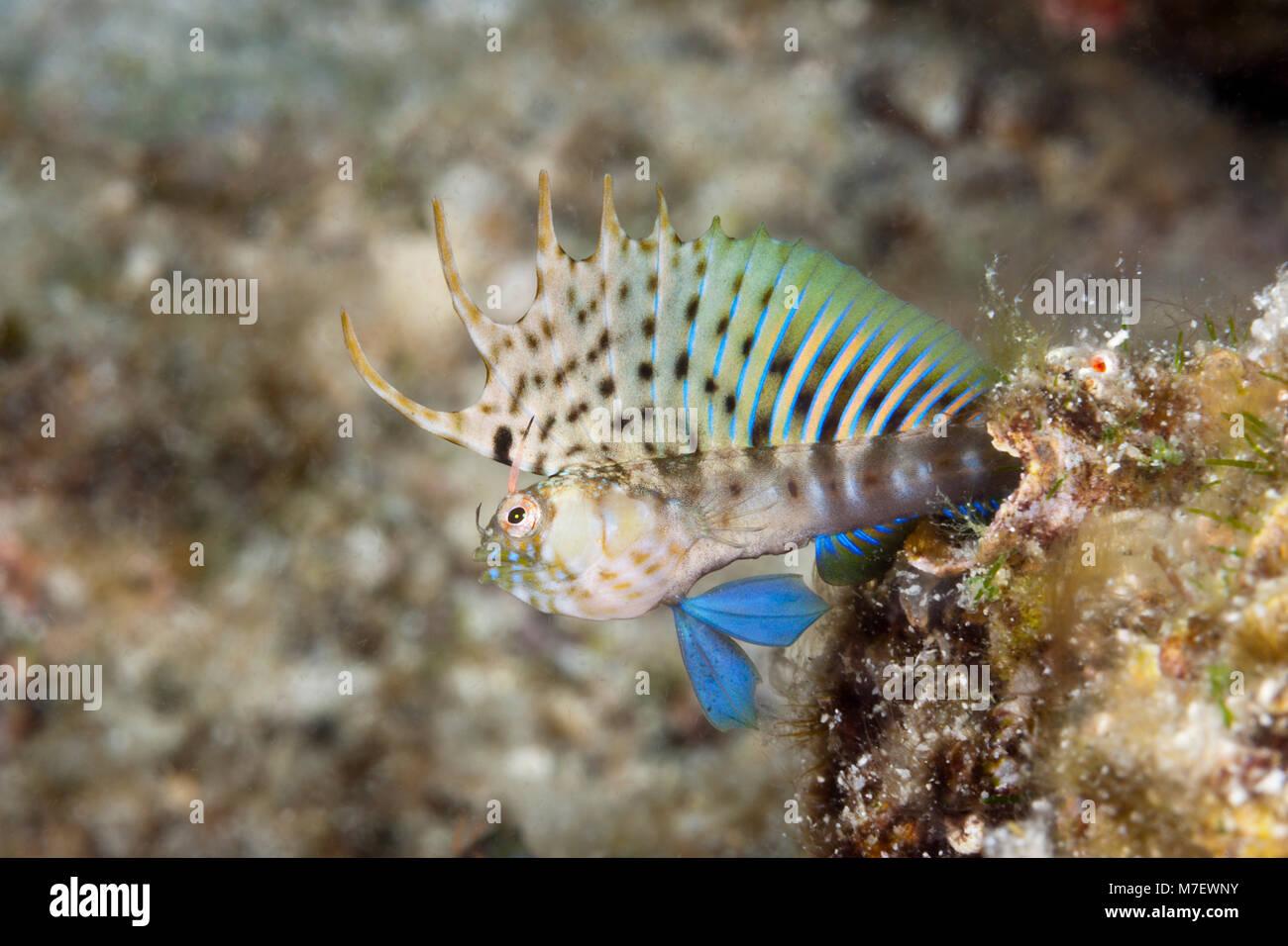 Schwer fassbaren Signal Schleimfische in bedrohlichen Haltung, Emblemaria Chamaecistus, La Paz, Baja California Stockbild