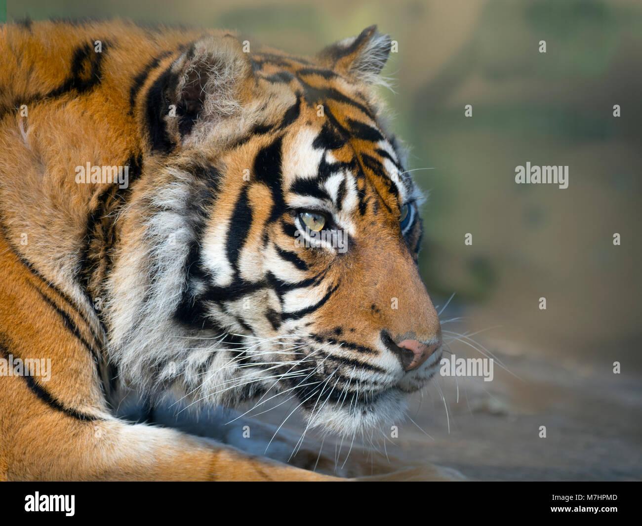 Sumatra Tiger Panthera tigris sondaica Captive zoo Foto Stockbild