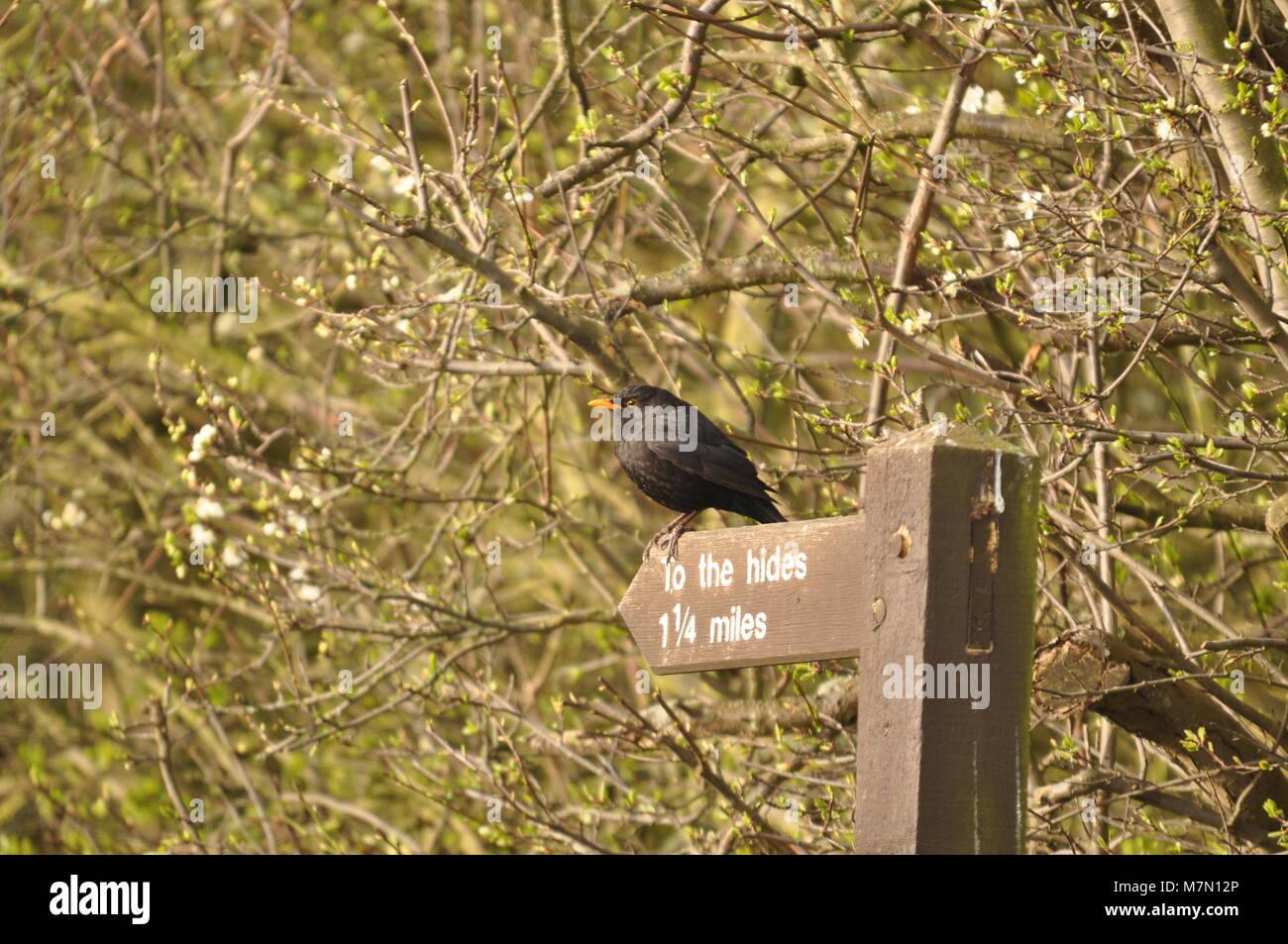 Gemeinsame Amsel (Turdus merula) bequem über ein auf die Häute Schild thront. Elmley Naturschutzgebiet, Stockbild