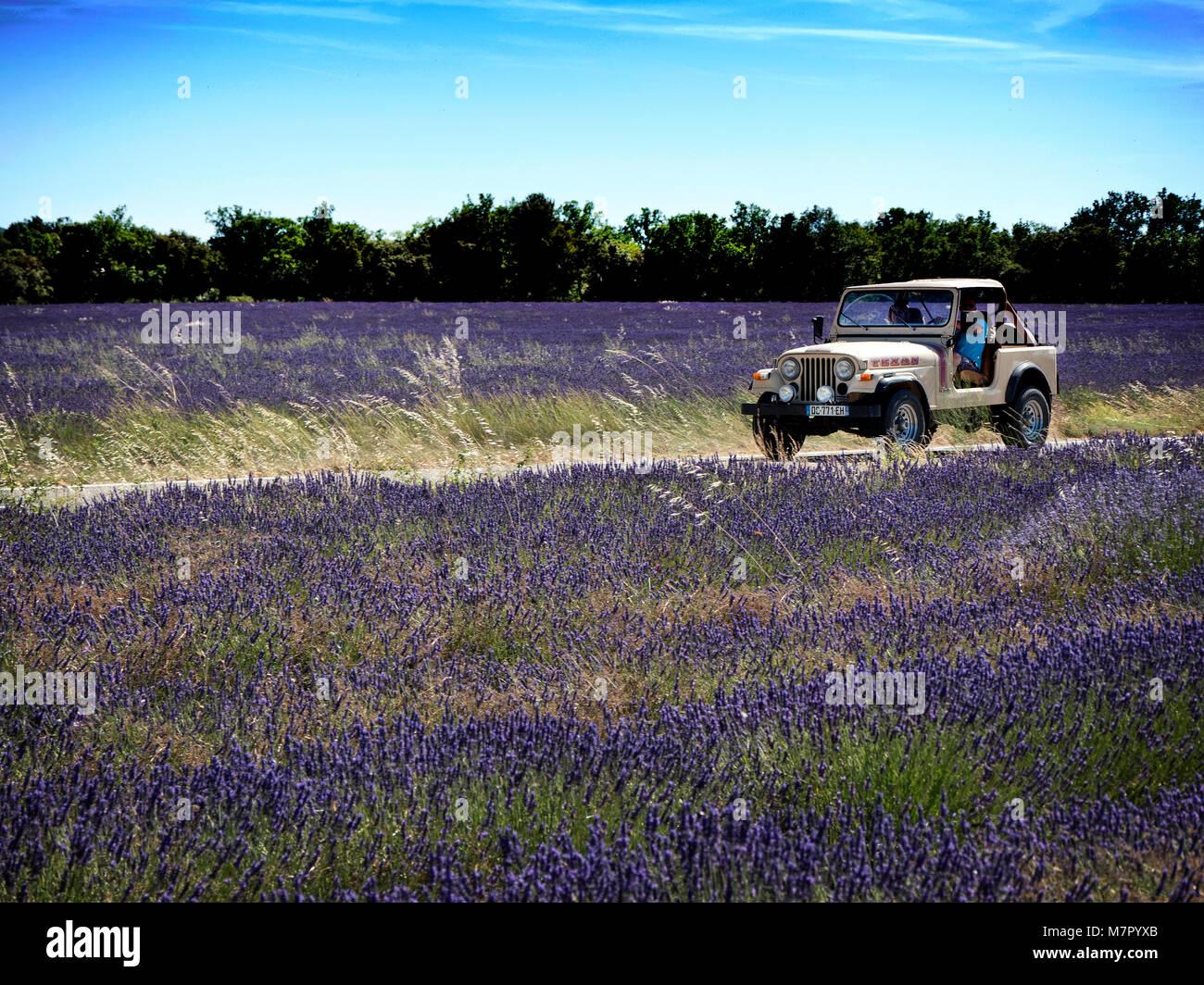 Lavendelfelder in der Nähe von Saignon im Luberon Vaucluse Provence Frankreich. Stockbild
