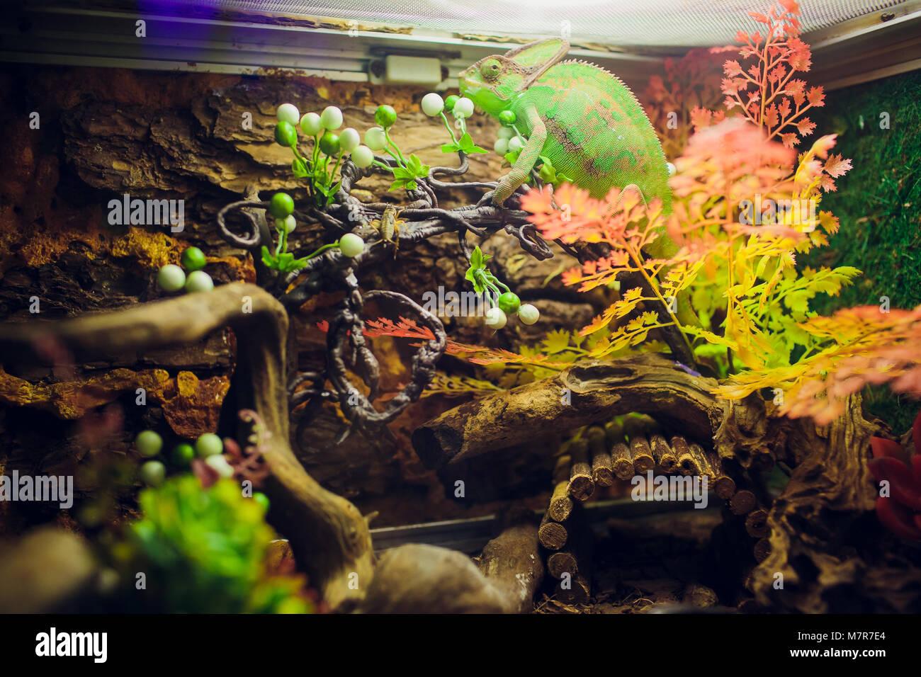 Chameleon Furcifer pardalis, endemische Panther chameleon in wütenden Zustand, reine Ambilobe Tier Stockbild