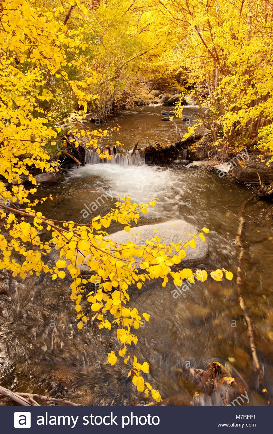 Aspen über Überführen Creek, der östlichen Sierra Nevada, Inyo National Forest, Kalifornien Stockbild