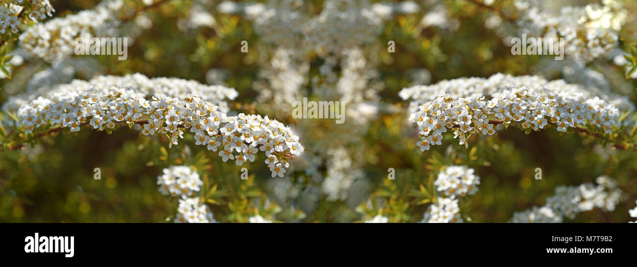 Bush Small White Flowers On Stockfotos & Bush Small White Flowers On ...