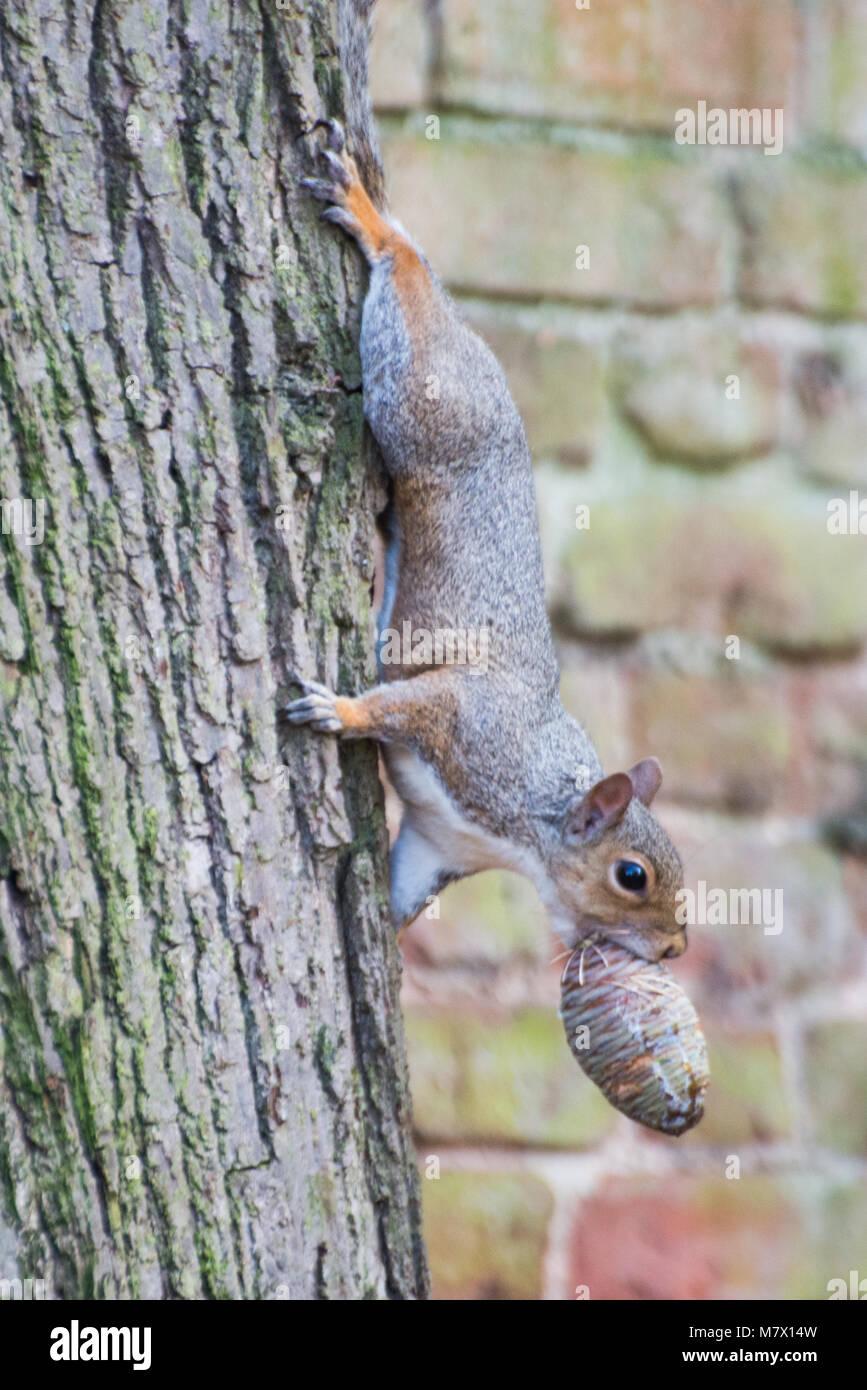 Massiver weiblicher Eichhörnchen