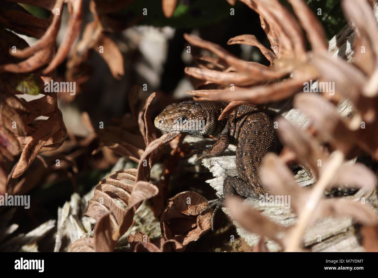 Jugendliche gemeinsame oder Vivipar Eidechse, Zootoca vivipara Stockfoto