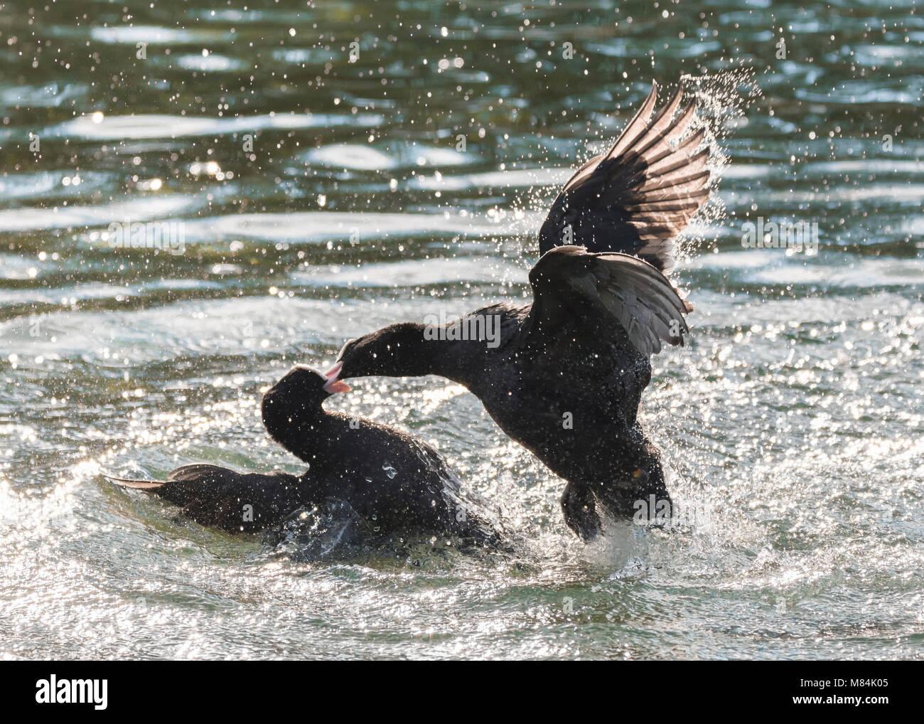 Paar eurasischen Blässhuhn (Fulica atra) in Wasser in einer Konfrontation, in einem Kampf in einem See in Großbritannien. Stockbild