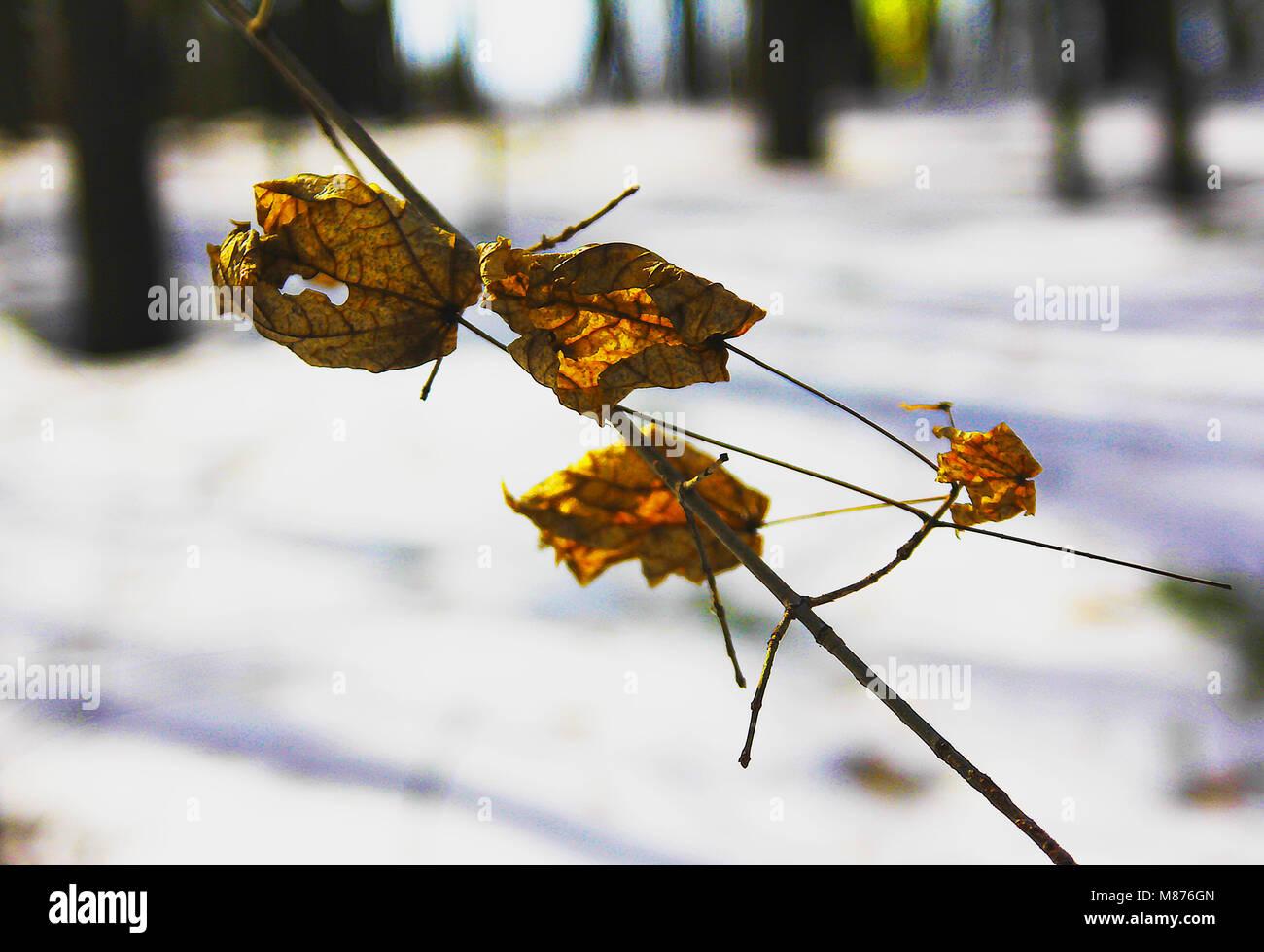 Die trockenen Blätter auf dem Zweig eines Ahorn Stockbild
