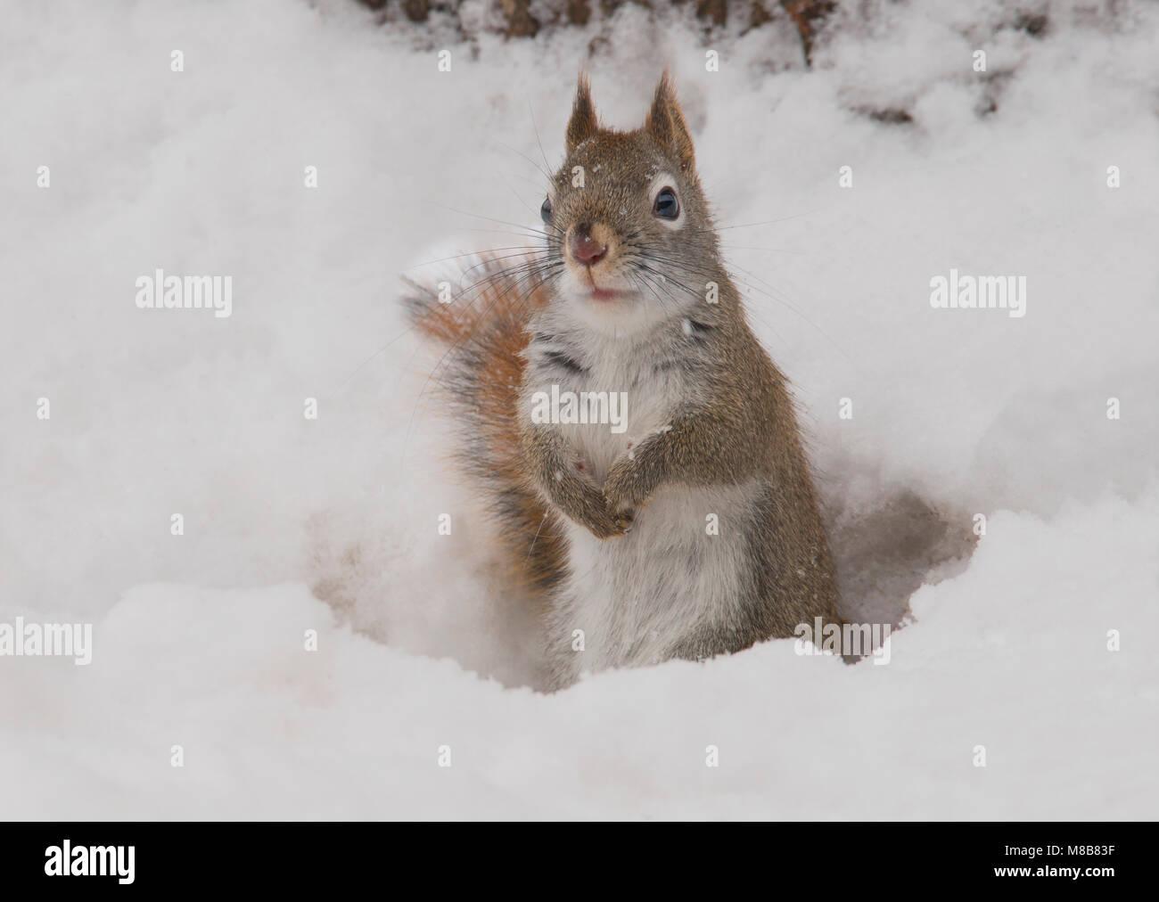Amerikanische Rote Eichhörnchen (Tamiasciurus hudsonicus), Winter, E USA, durch Überspringen Moody/Dembinsky Stockbild