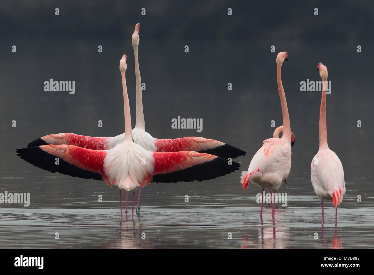 Groep blatsende Flamingo's; Gruppe von displying Greater Flamingo Stockfoto