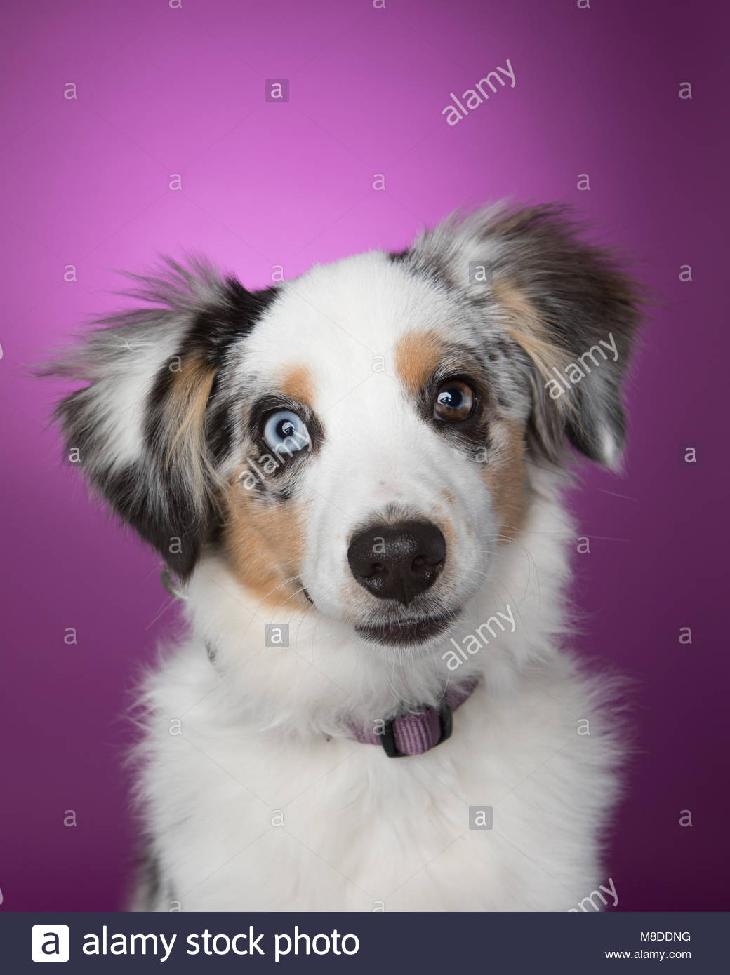 Studio Portrait von niedlichen Miniatur Australian Shepherd Welpen gegen einen violetten Hintergrund genommen Stockbild
