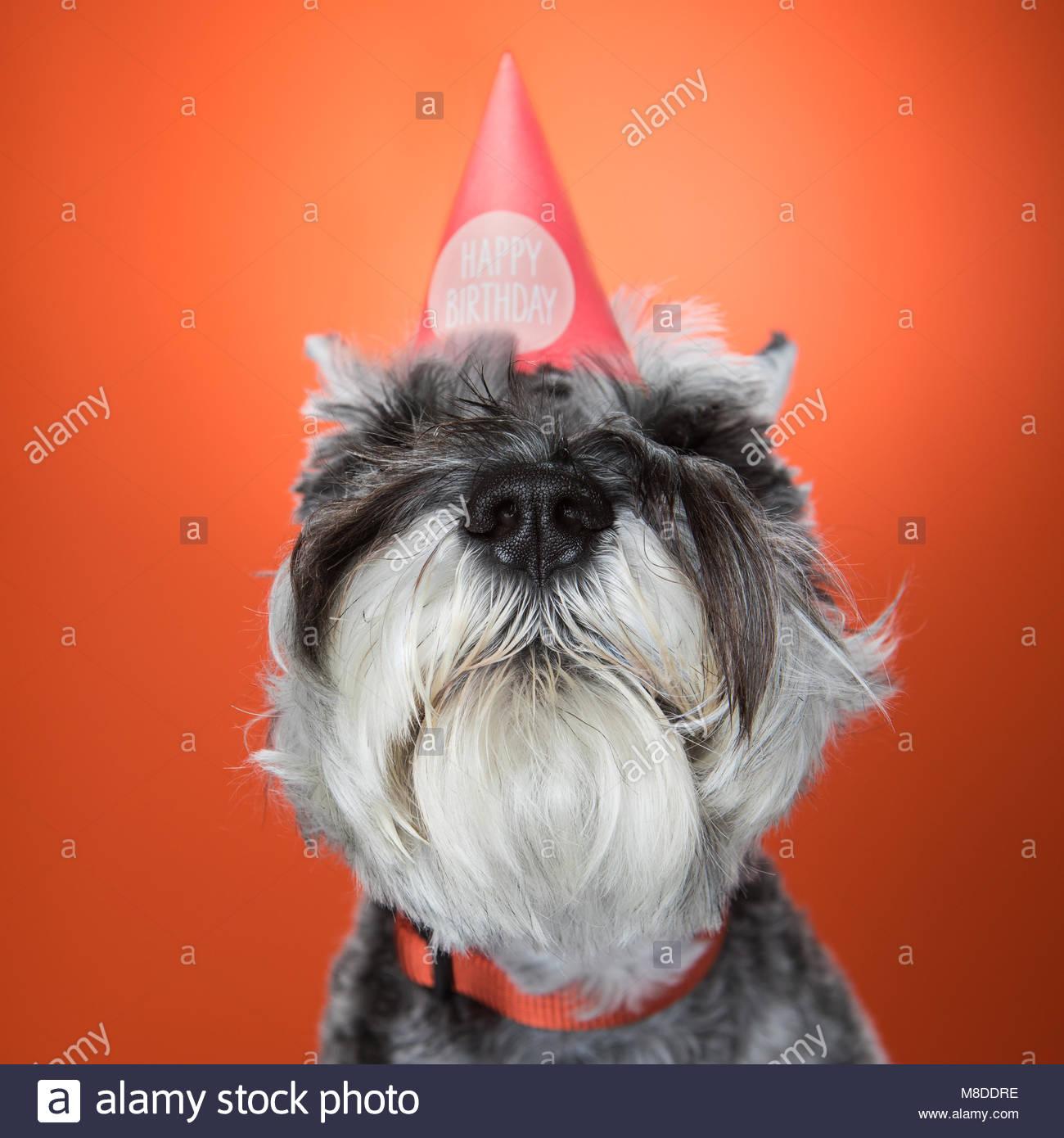 Nahaufnahme der Schnauzer Hund tragen Geburtstag hat gegen orange Hintergrund Stockbild