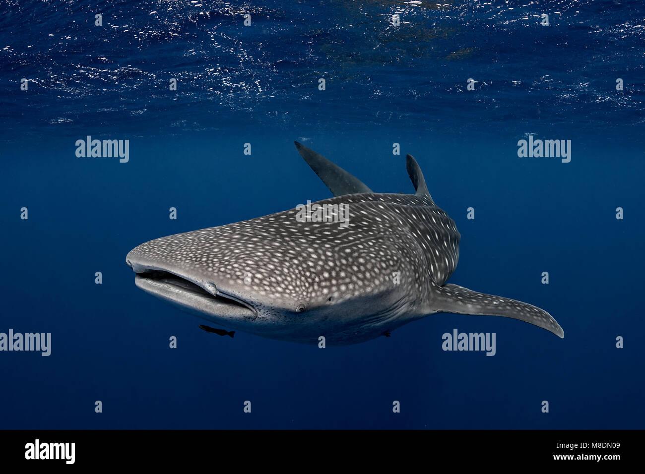 Walhai in den Gewässern von Tonga Stockbild