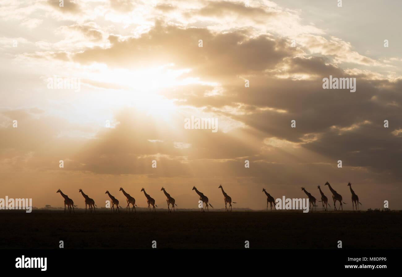 Giraffen im Sonnenuntergang im Amboseli Nationalpark, Amboseli, Rift Valley Kenia Stockfoto