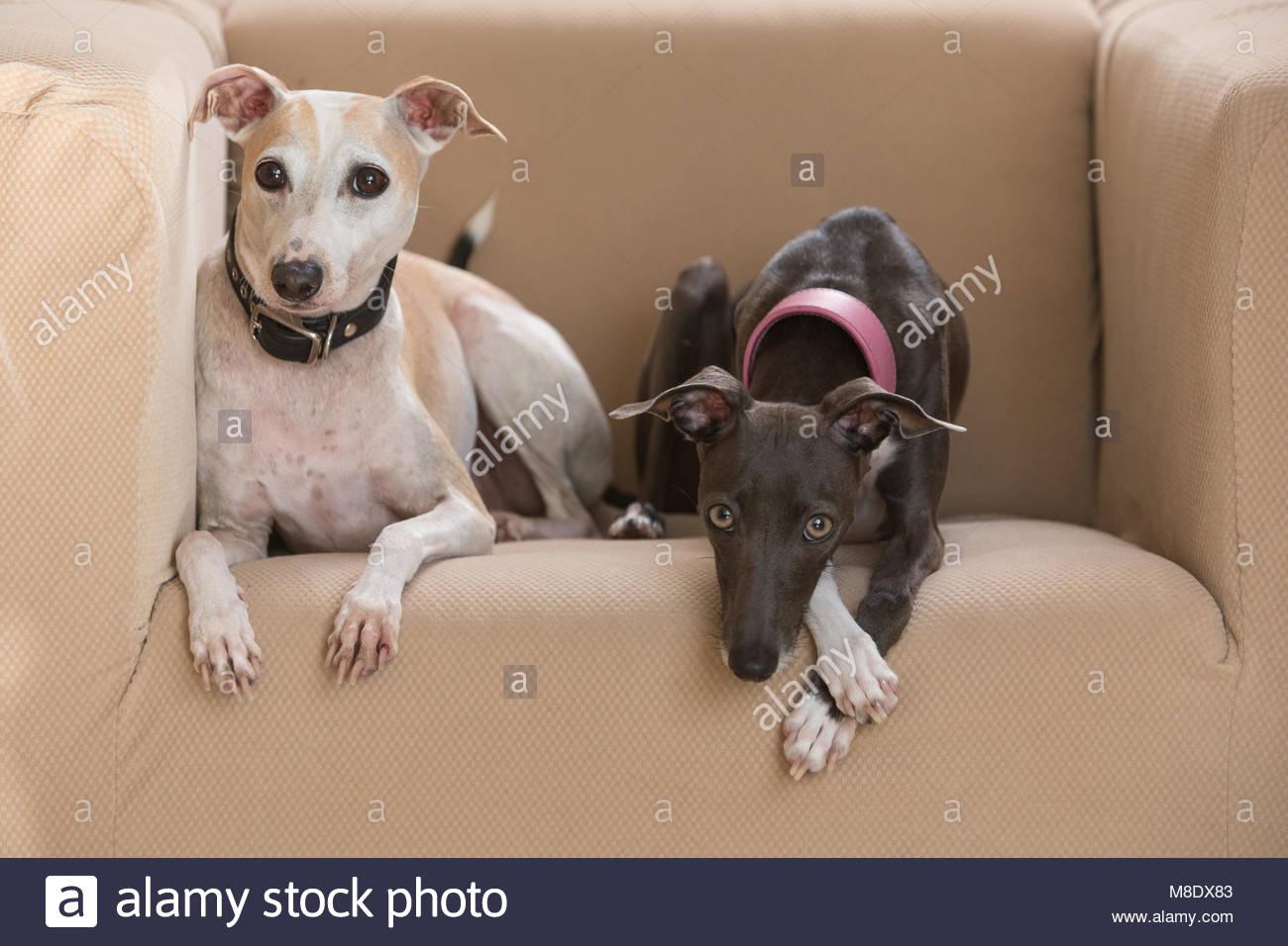 Einen weißen und braunen italienischen Greyhound und eine graue Greyhound liegend auf einem Stuhl in Richtung Stockbild