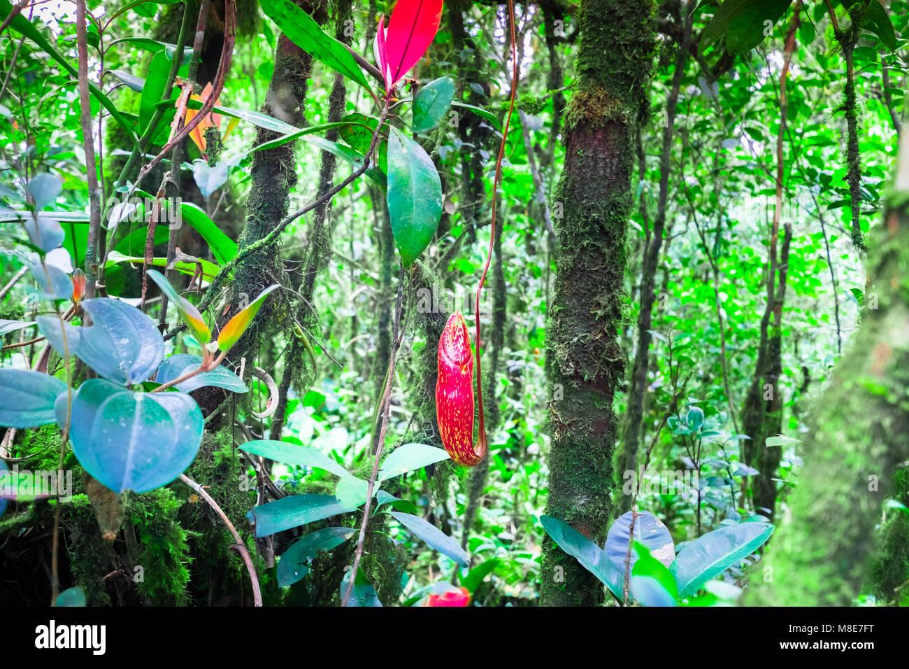 Super Nepenthes Krug Blumen, exotische fleischfressende Pflanze wächst @FX_58