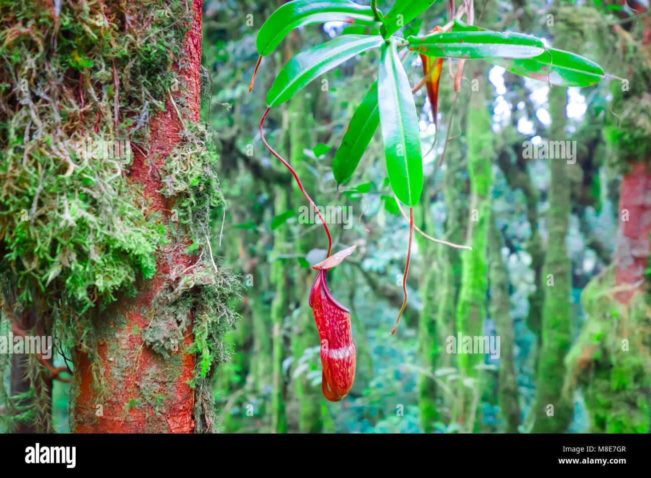 Fabelhaft Nepenthes Krug Blumen, exotische fleischfressende Pflanze wächst &TB_78