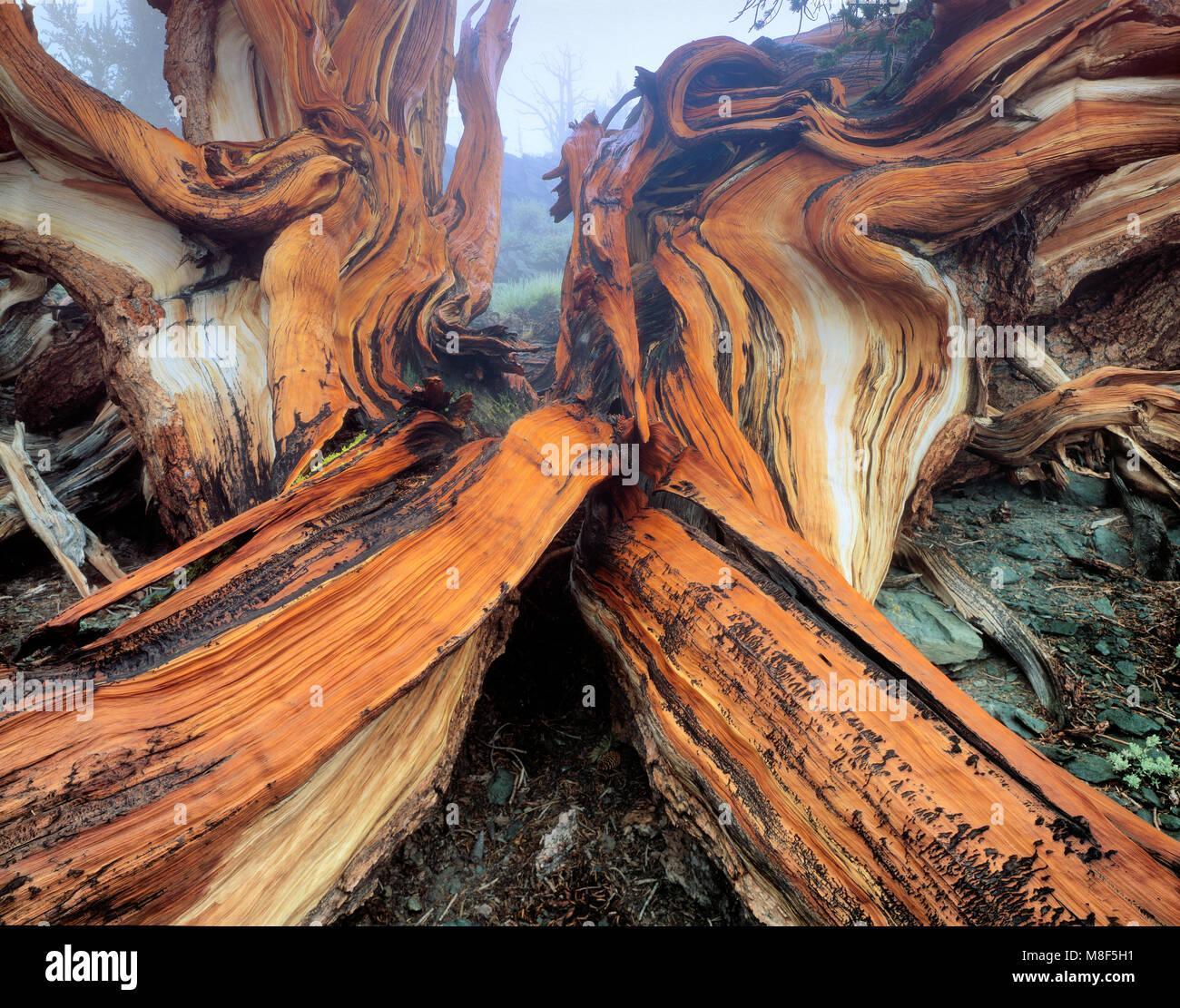 Bristlecone Pinie, Pinus longaeva, weiße Berge, Inyo National Forest, östlichen Sierra, Kalifornien Stockbild