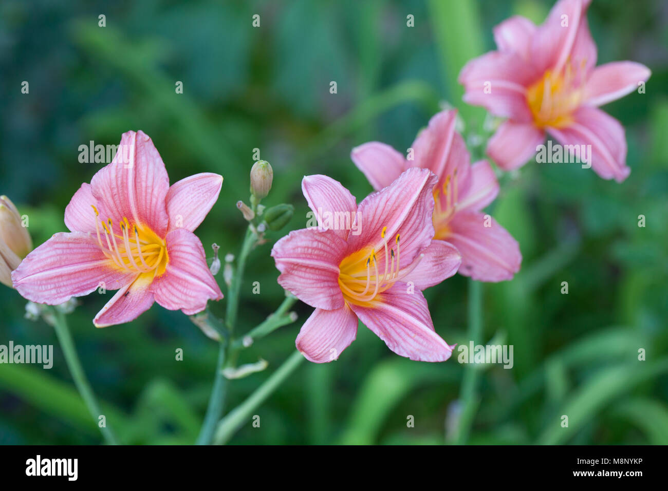 """Taglilie  /""""Bed of Roses/"""" Daylily  Hemerocallis"""