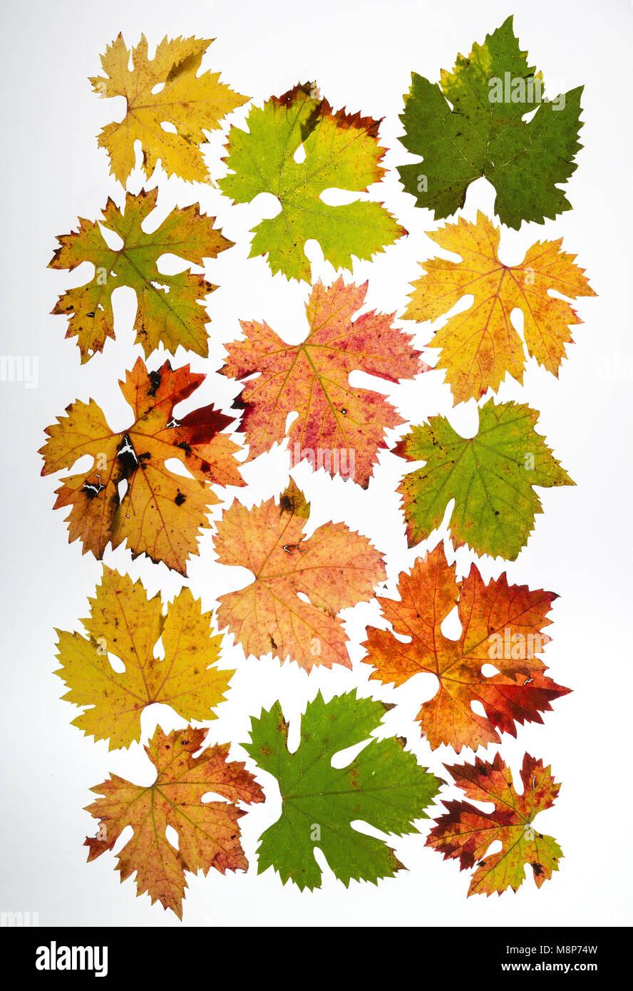 Datenblatt zu verschiedenen Weinblättern Stockbild