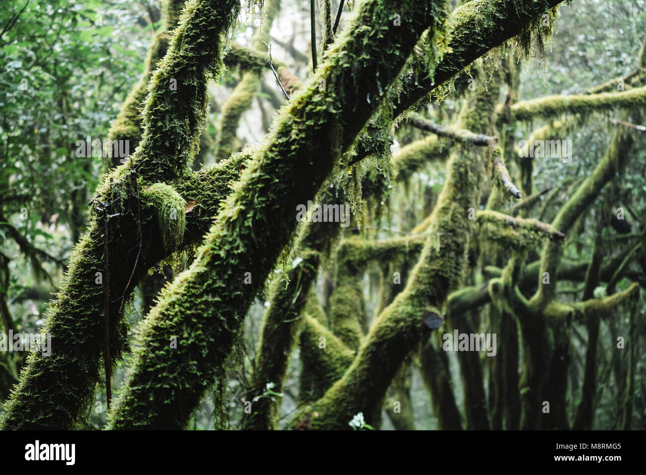Nahaufnahme der bemooste Zweige von Bäumen im Wald am Nationalpark Garajonay Stockfoto
