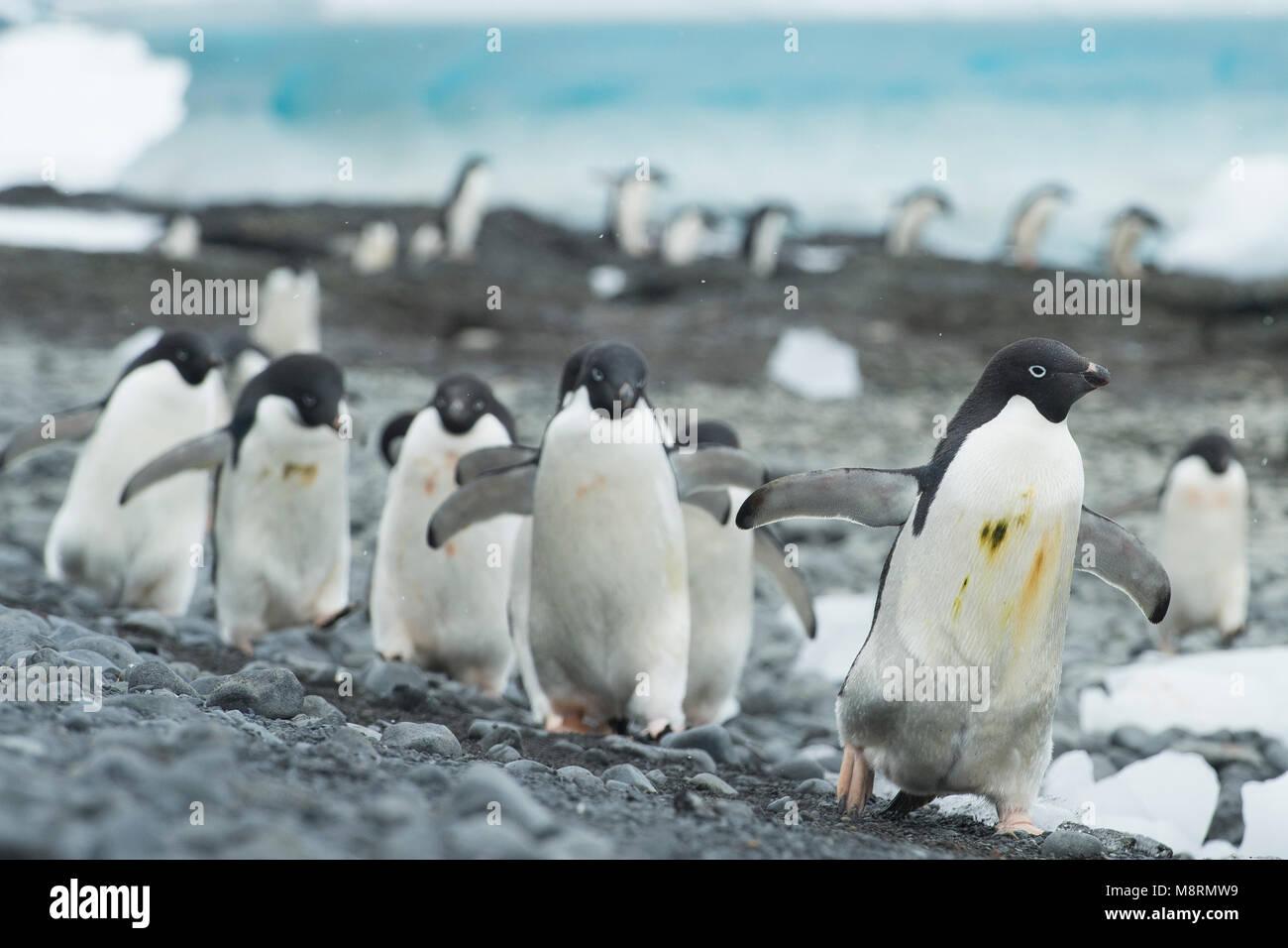 Gruppen von Adelie Pinguine Spaziergang entlang der Küste bei Brown Bluff, Antarktis. Stockfoto