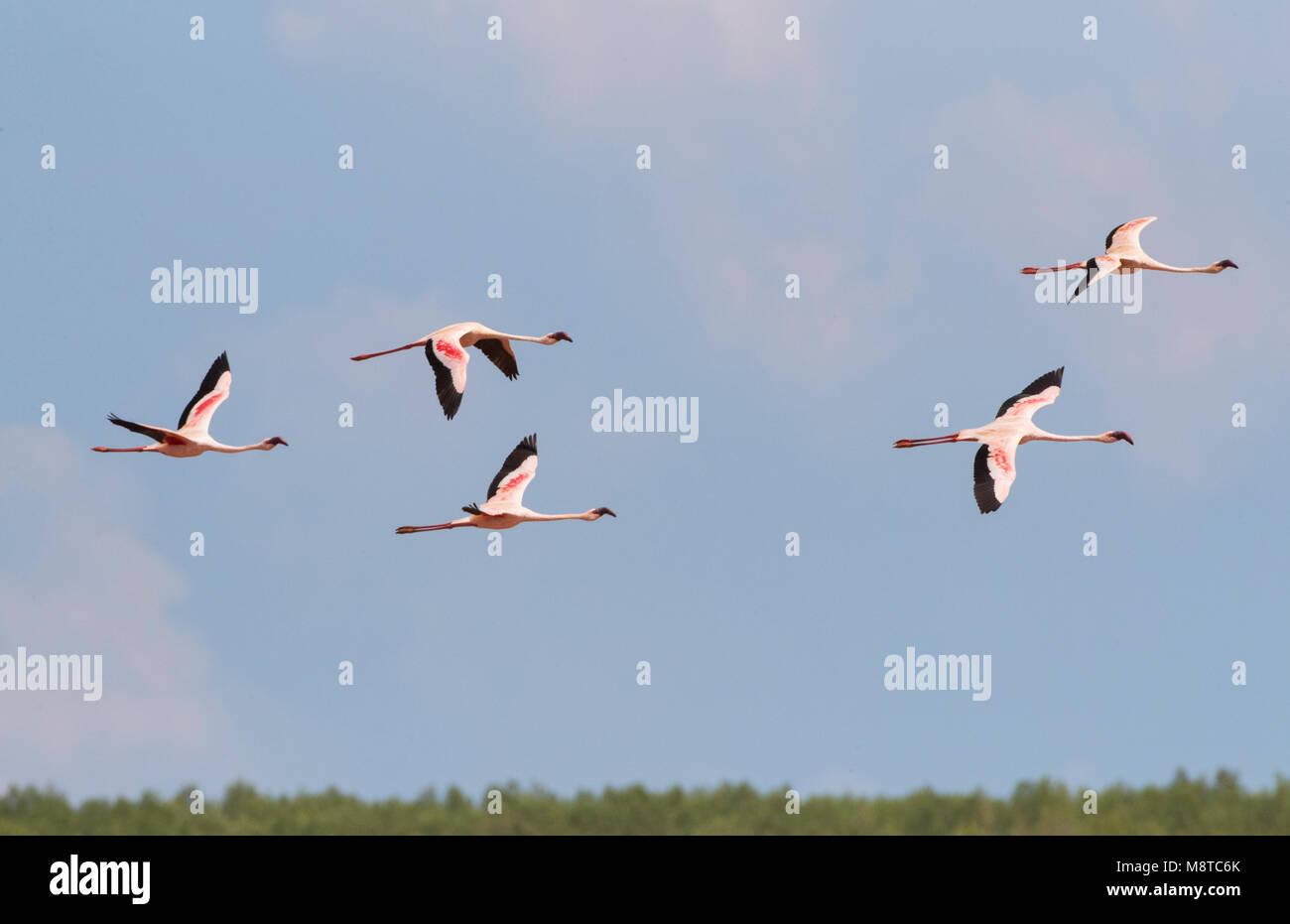 Kleine Flamingo in Vlucht; Lesser Flamingo's (Phoeniconaias minor) im Flug Stockbild