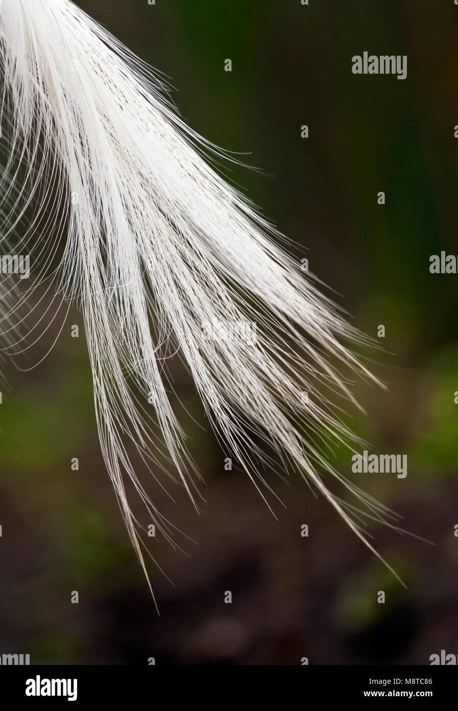 Sierveren van Kleine Zilverreiger; Sommer Gefieder Federn von der Seidenreiher Stockbild
