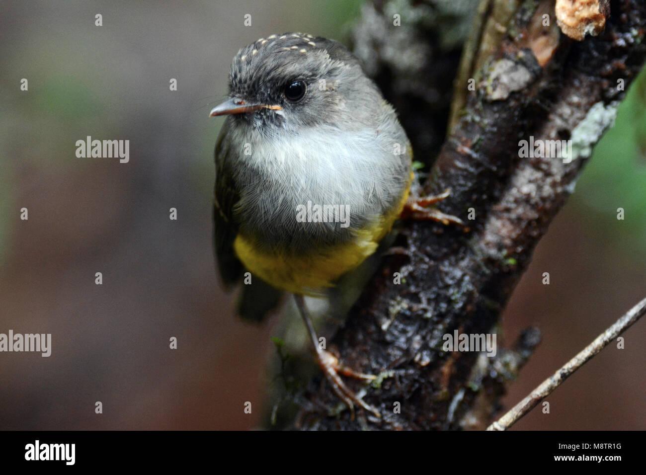 Yellow-bellied Robin Stockbild