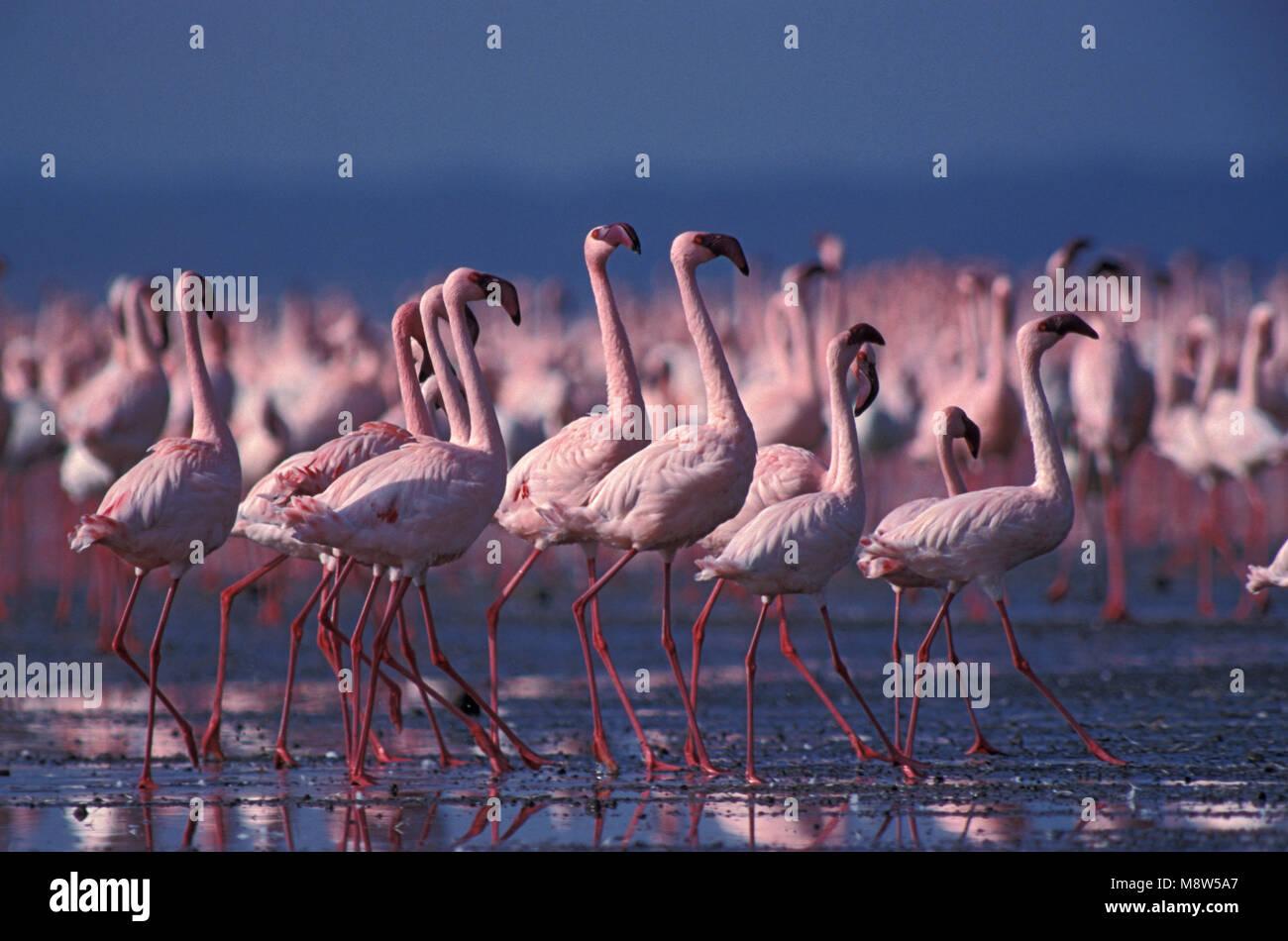 Lesser Flamingo; Kleine Flamingo Stockbild