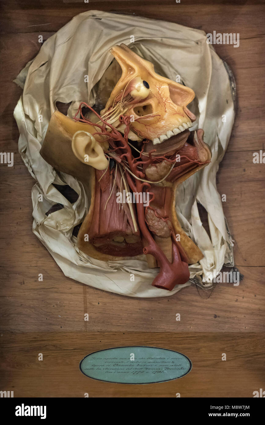 Florenz. Italien. 18. jahrhundert Wachs anatomische Modell La ...