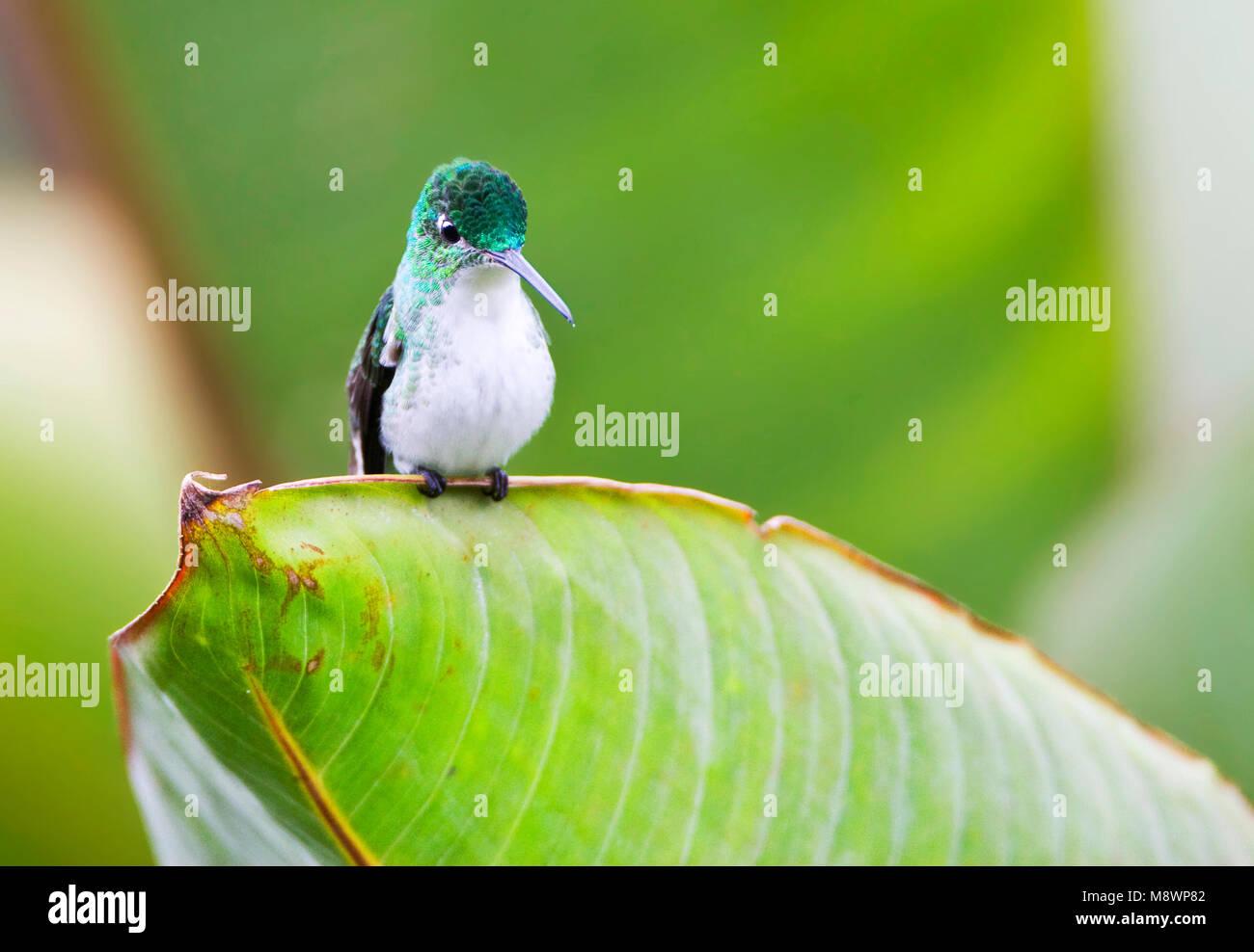 Andesamazilia zittend op Groot blad, Anden Smaragd an großen Blattes gehockt Stockbild