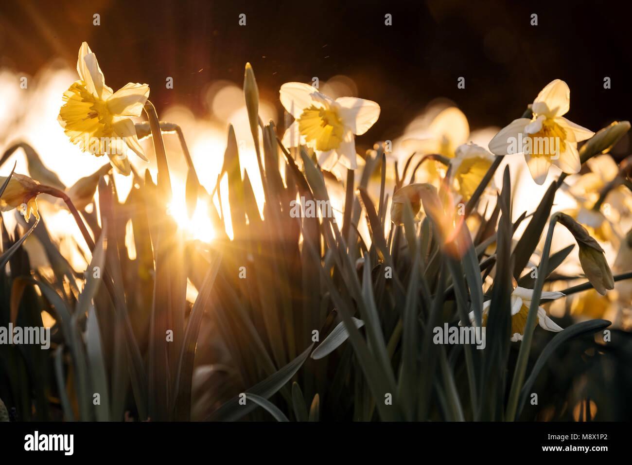 Licht Düsseldorf 19 märz 2018 deutschland düsseldorf gelbe narzissen sind durch