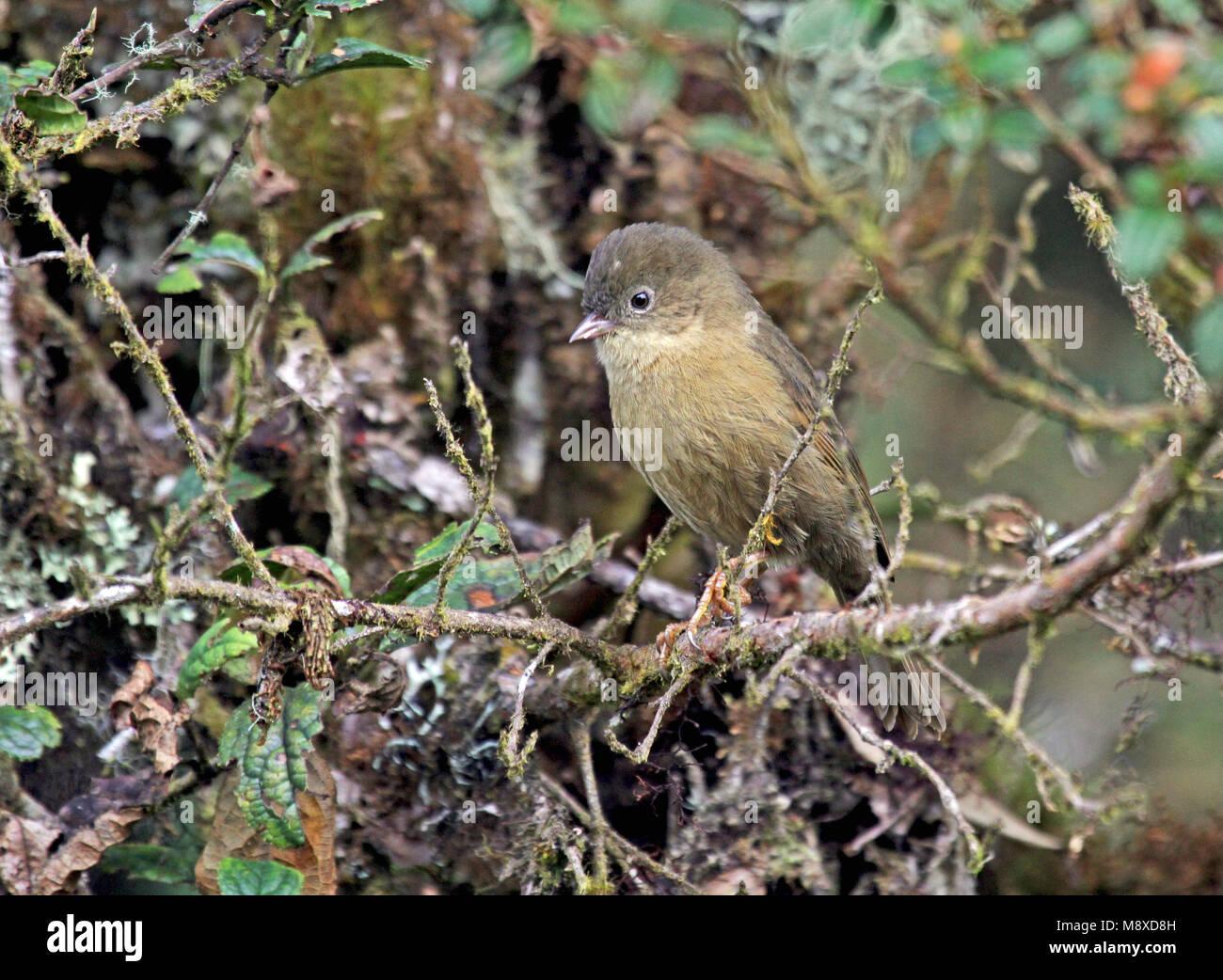 Die pardusco (Nephelornis oneilli) ist eine Pflanzenart aus der Gattung der Tanager, die endemisch ist, ist in der Stockbild