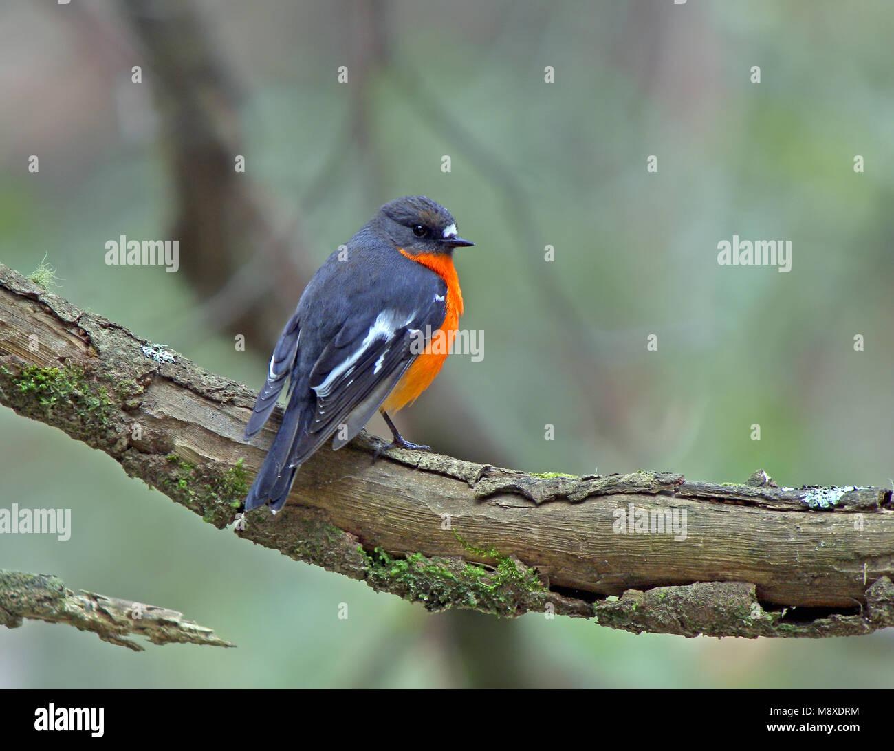 Die flamme Robin ist in gemäßigten Regionen des südöstlichen Australien und Tasmanien gefunden, Stockbild