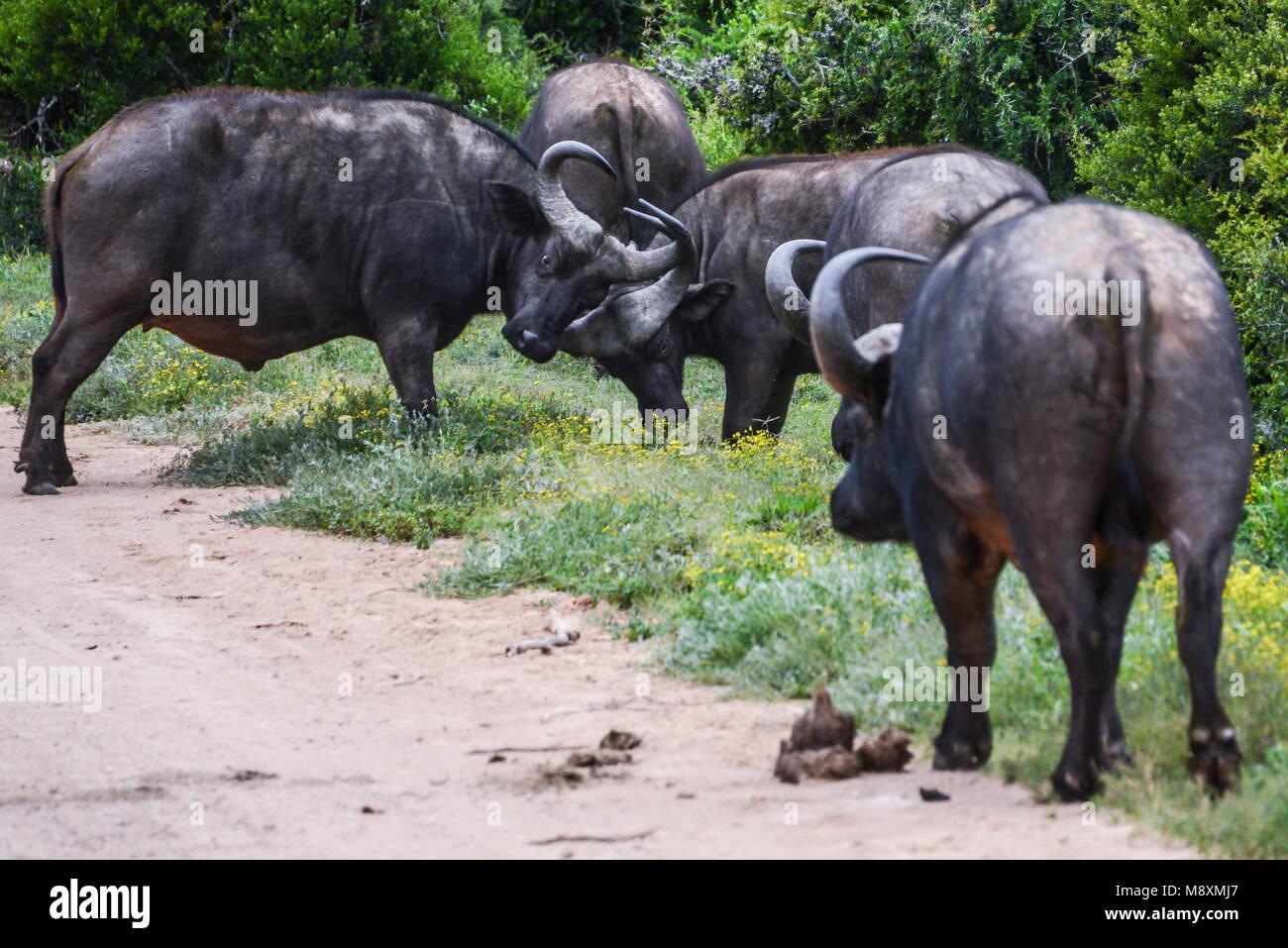 Zwei afrikanischer Büffel (Syncerus Caffer) Kraftprobe in Addo Elephant Park, Südafrika Stockbild