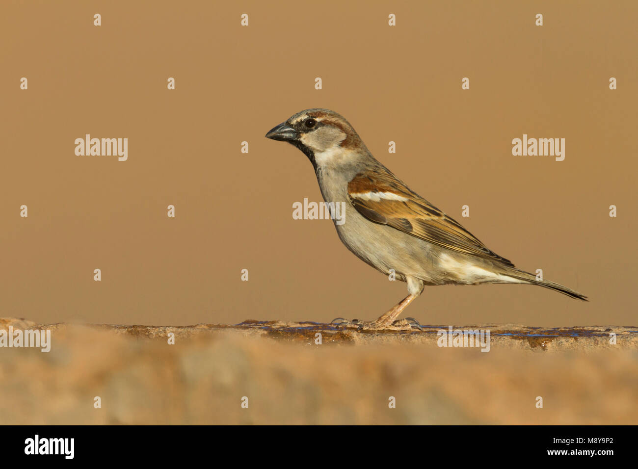 Huismus, House Sparrow, Passer domesticus ssp. tingitanus, erwachsenen männlichen, Marokko Stockbild