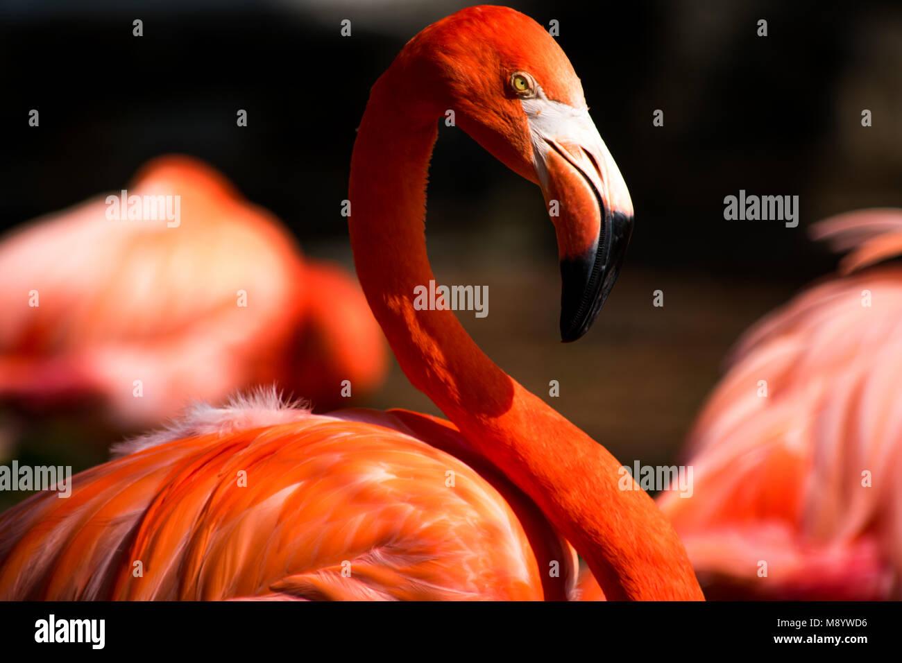 Das Porträt einer Flamingo suchen awesome Stockbild