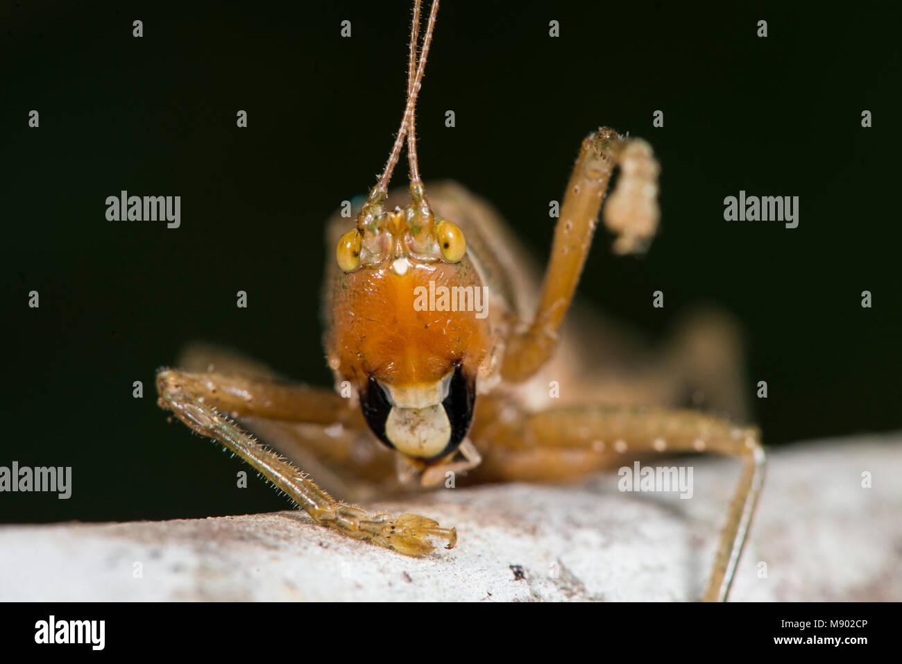 Kopf einer Katydid, Tettigoniidae, Maliau Becken, Sabah, Malaysia, Borneo, Stockbild