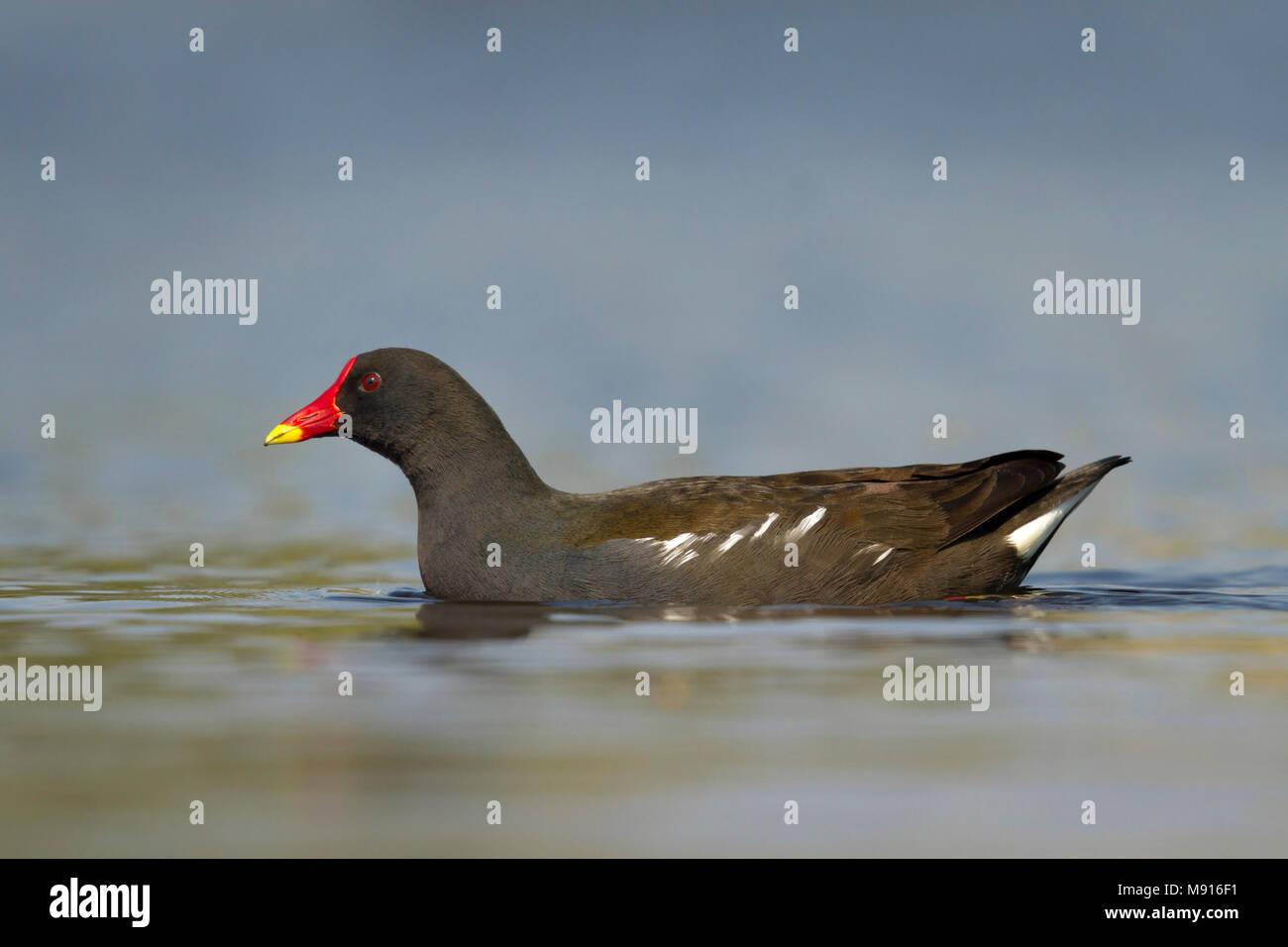 Waterhoen laagstandpunt zijzicht; Sumpfhuhn niedrige Sicht Seitenansicht; Stockbild