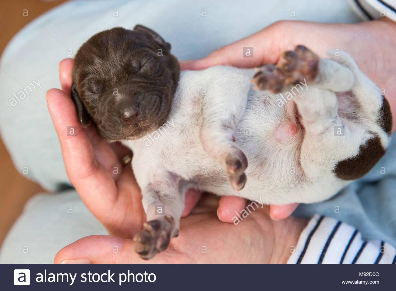 Kleine neugeborene pointer Welpe in womans Händen gehalten Stockbild
