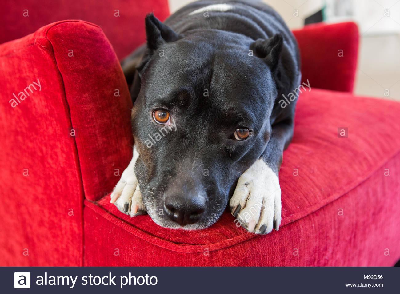Pitbull mit traurigen braunen Augen ruhen auf die Pfoten, in einem roten Stuhl liegend Stockbild