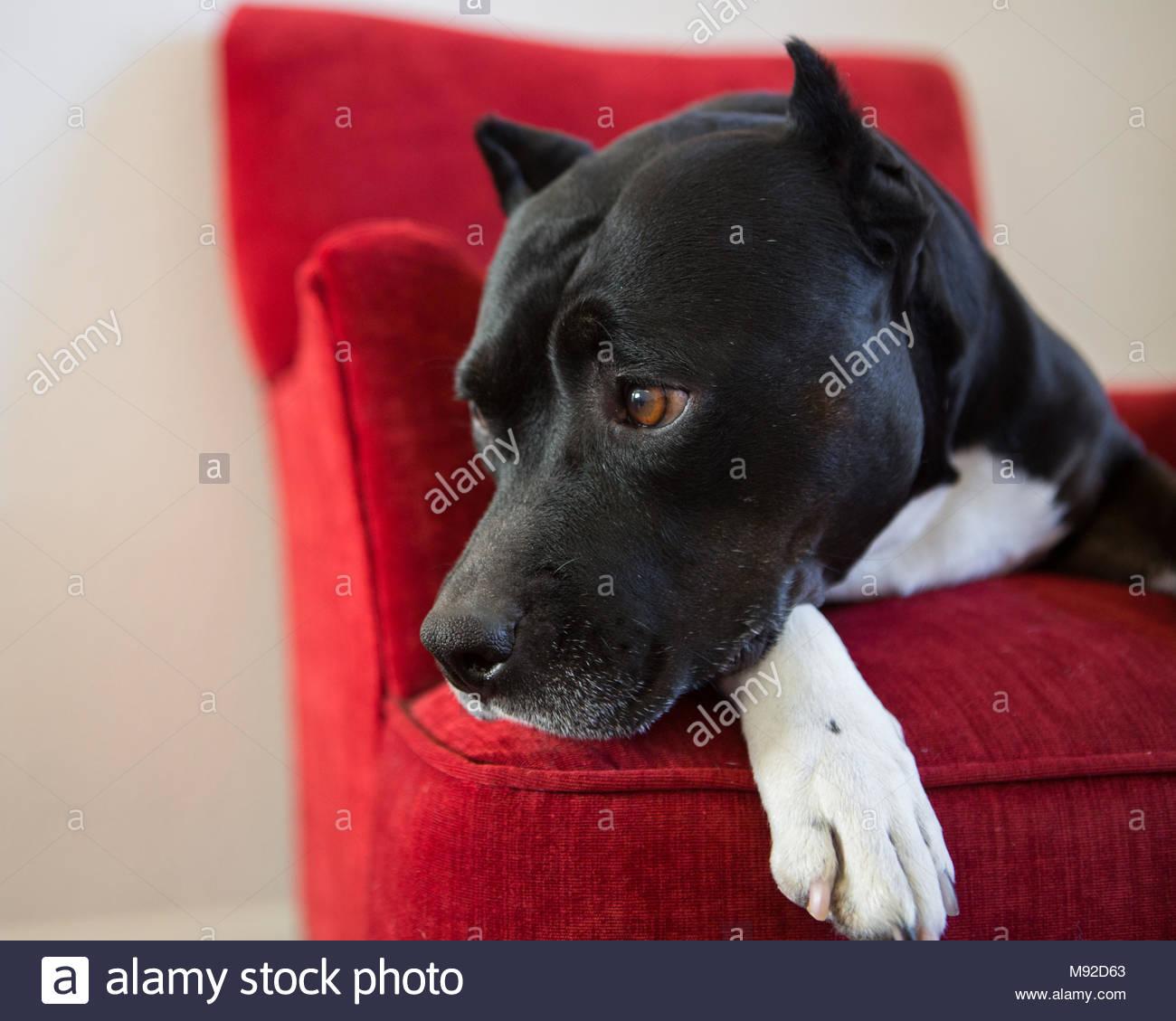 In der Nähe von Schwarzen und Weißen Grube Stier mit kupierten Ohren Kinn ruht auf der Pfote in roten Stuhl Stockbild