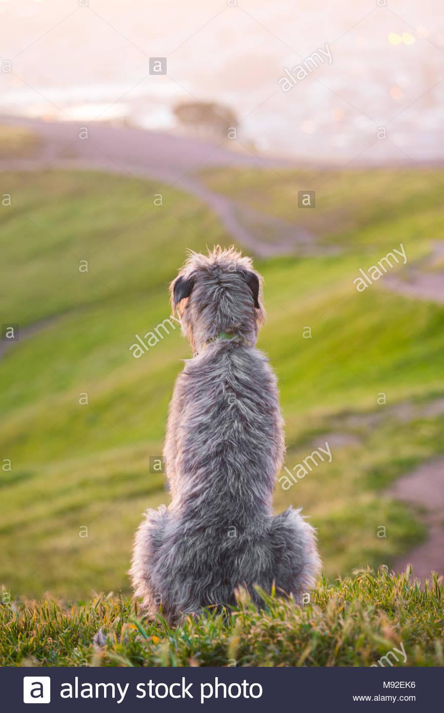 Große graue Irish Wolfhound sitzen auf einem Hügel mit Blick auf den Ozean mit der Rückseite der Kamera Stockbild