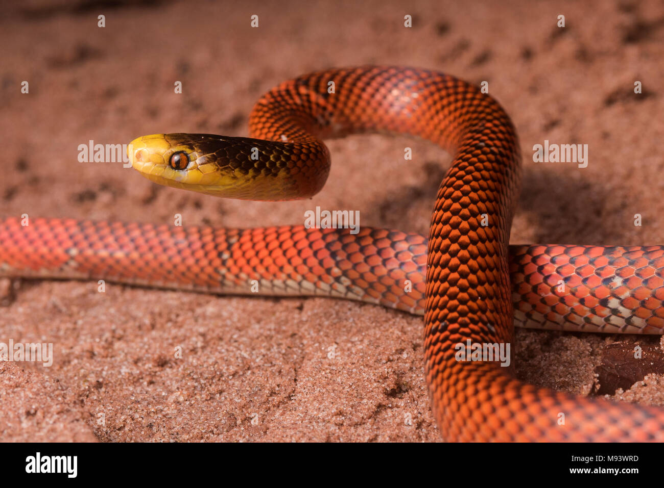 Die Formosa falschen Korallenschlange (Oxyrhopus formosus) ist eine harmlose Schlange Arten. Es ist eine der farbenprächtigsten Schlangen im Dschungel. Stockbild