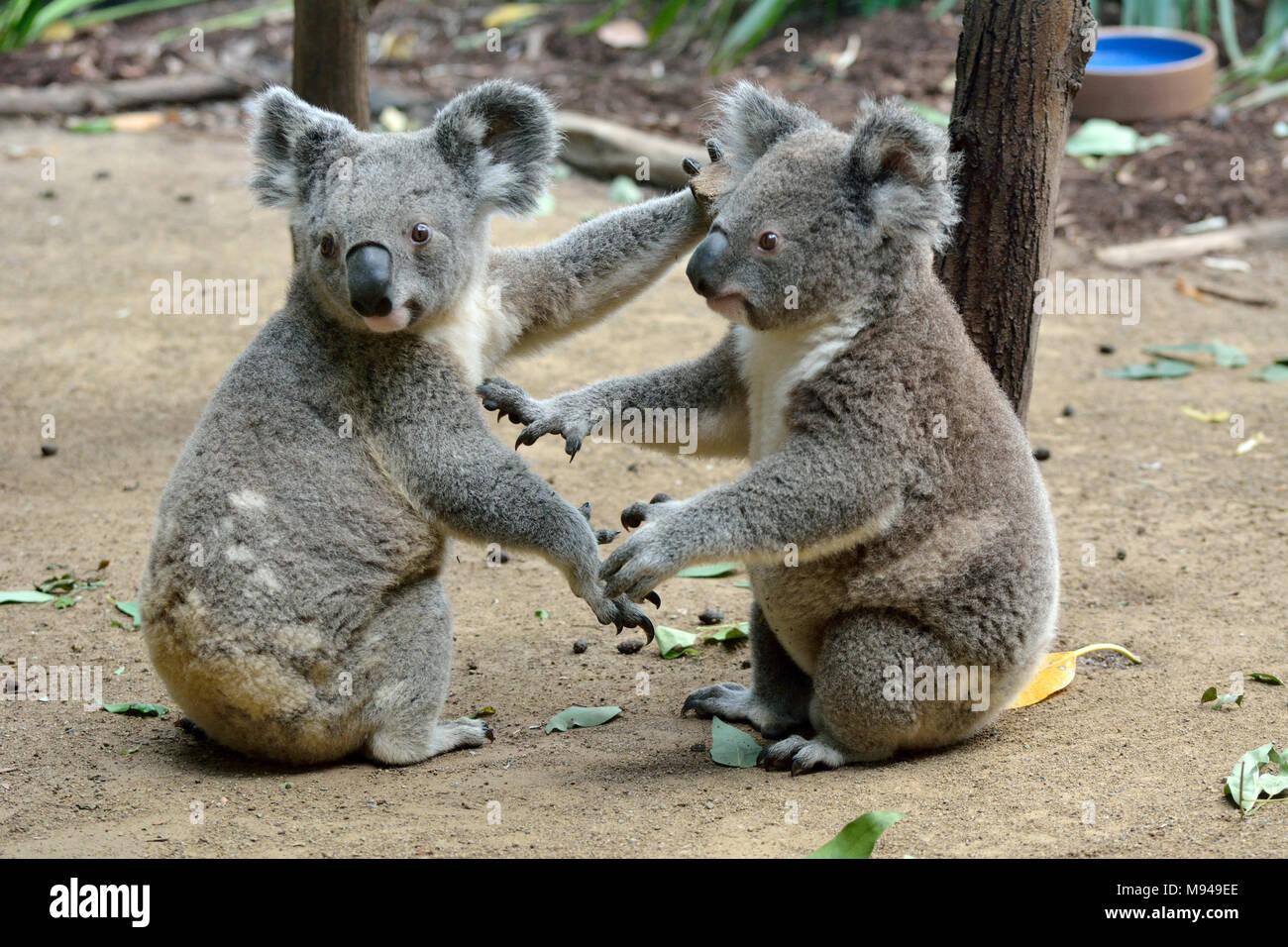 zwei Koalas Australien Grußkarte