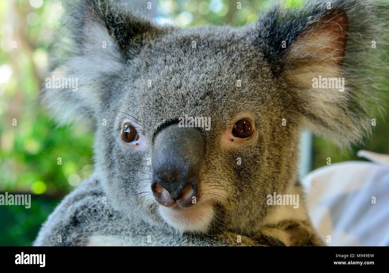 Atemberaubend Koalabär Färbung Seite Fotos - Druckbare Malvorlagen ...