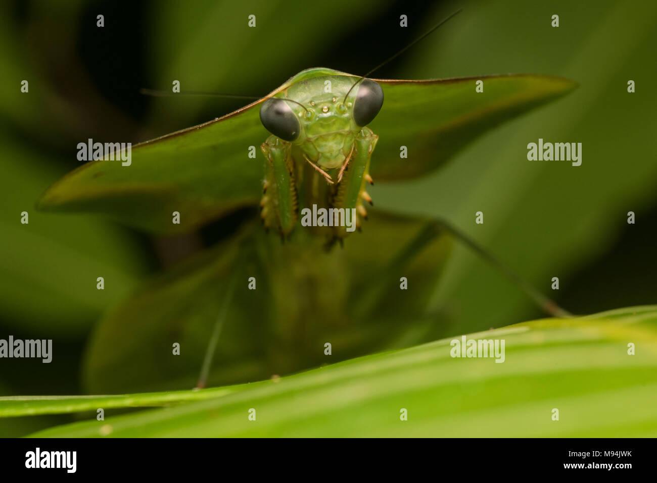 Ein Schild oder Blatt Mantis (Choeradodis Arten) setzt auf seine erstaunliche Camouflage, mit Pflanzen und verdeckt zu mischen. Stockbild